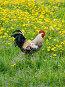 Петух на поле из одуванчиков, фото № 296249, снято 19 мая 2008 г. (c) Надежда Келембет / Фотобанк Лори