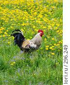 Купить «Петух на поле из одуванчиков», фото № 296249, снято 19 мая 2008 г. (c) Надежда Келембет / Фотобанк Лори