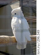 Купить «Белый какаду. Cacatua alba», фото № 296349, снято 13 мая 2008 г. (c) Михаил Котов / Фотобанк Лори