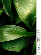 Листья тюльпана на темном фоне. Стоковое фото, фотограф Александр Иванов / Фотобанк Лори