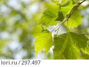 Купить «Зеленые листья», фото № 297497, снято 24 мая 2008 г. (c) Игорь Р / Фотобанк Лори