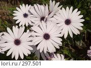 Купить «Фиолетовые ромашки», фото № 297501, снято 24 мая 2008 г. (c) Игорь Р / Фотобанк Лори