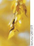 Ветка березы с желтыми листьями и почками. Фотография, монокль. Стоковое фото, фотограф Гребенников Виталий / Фотобанк Лори