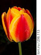Цветок тюльпана на темном фоне. Стоковое фото, фотограф Александр Иванов / Фотобанк Лори