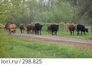 Купить «Вечер. Возвращение стада домой», фото № 298825, снято 2 мая 2008 г. (c) Артем Ефимов / Фотобанк Лори