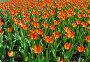 Красные тюльпаны, эксклюзивное фото № 300161, снято 27 апреля 2008 г. (c) lana1501 / Фотобанк Лори