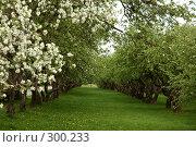 Купить «Коломенский парк. Яблоневый сад», фото № 300233, снято 10 мая 2008 г. (c) Абдурагимова Наталия / Фотобанк Лори