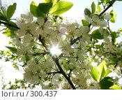 Купить «Солнце сквозь вишневый цвет», фото № 300437, снято 29 апреля 2008 г. (c) Марина Бандуркина / Фотобанк Лори