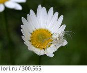 Купить «Паук на ромашке», фото № 300565, снято 5 июля 2005 г. (c) sav / Фотобанк Лори