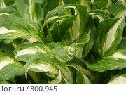 Купить «Красивые листья - хоста», фото № 300945, снято 25 мая 2008 г. (c) Мария Малиновская / Фотобанк Лори