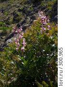 Купить «Цветущее растение Неопалимая Купина», фото № 300965, снято 21 мая 2008 г. (c) Олег Титов / Фотобанк Лори