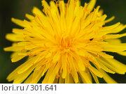 Купить «Макро. Цветок одуванчика. Желтый», фото № 301641, снято 11 мая 2008 г. (c) Sergey Toronto / Фотобанк Лори