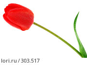 Купить «Красный тюльпан с каплями росы на белом фоне», фото № 303517, снято 21 апреля 2008 г. (c) Александр Паррус / Фотобанк Лори