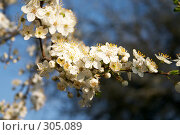 Купить «Цветущие сады», фото № 305089, снято 26 апреля 2008 г. (c) Куракевич Иван / Фотобанк Лори