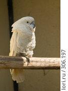 Купить «Попугай Белый какаду (Cacatua alba)», фото № 306197, снято 17 мая 2008 г. (c) Владимир Воякин / Фотобанк Лори