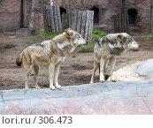 Купить «Волки», фото № 306473, снято 16 апреля 2008 г. (c) Бяков Вячеслав / Фотобанк Лори