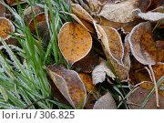 Купить «Листья в инее», фото № 306825, снято 31 октября 2004 г. (c) Gagara / Фотобанк Лори