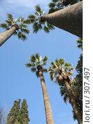 Купить «Пальмы над головой», фото № 307497, снято 11 марта 2008 г. (c) Gagara / Фотобанк Лори