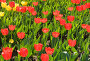 Тюльпаны, фото № 308241, снято 3 мая 2008 г. (c) Ирина Игумнова / Фотобанк Лори