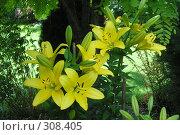 Желтые лилии. Стоковое фото, фотограф Тарасова Татьяна / Фотобанк Лори