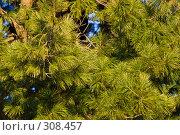 Фоновое изображение зеленых хвойных веток с молодыми иголками, освещенные закатным светом солнца. Стоковое фото, фотограф Harry / Фотобанк Лори