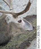 Купить «Олень. Deer», фото № 309793, снято 2 октября 2005 г. (c) sav / Фотобанк Лори