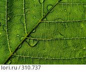 Купить «Фрагмент зелёного листа с каплями дождя», фото № 310737, снято 31 мая 2006 г. (c) A Челмодеев / Фотобанк Лори