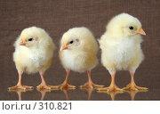 Купить «Цыплята», фото № 310821, снято 4 июня 2008 г. (c) Goruppa / Фотобанк Лори