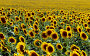 Поле подсолнечника, фото № 311341, снято 10 июля 2007 г. (c) Виктор Филиппович Погонцев / Фотобанк Лори