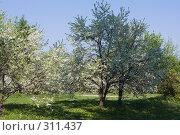 Купить «Цветущий вишневый сад», фото № 311437, снято 20 ноября 2018 г. (c) Алексей Волков / Фотобанк Лори