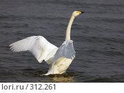 Купить «Лебедь», фото № 312261, снято 21 ноября 2018 г. (c) Константин Куприянов / Фотобанк Лори