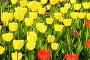 Тюльпаны, фото № 312297, снято 3 мая 2008 г. (c) Ирина Игумнова / Фотобанк Лори