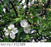 Купить «Ветка яблони в цвету», фото № 312589, снято 23 мая 2006 г. (c) Марина Бандуркина / Фотобанк Лори