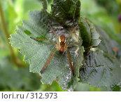 Купить «Паук-охотник на зеленом листе. Макро», фото № 312973, снято 28 июля 2007 г. (c) Sergey Toronto / Фотобанк Лори