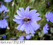 Купить «Пчела на цветке цикория», фото № 312977, снято 5 августа 2007 г. (c) Sergey Toronto / Фотобанк Лори