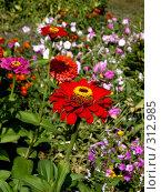 Купить «Цветок Циннии и бражник», фото № 312985, снято 10 августа 2007 г. (c) Sergey Toronto / Фотобанк Лори