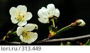 Купить «Ветка вишни», фото № 313449, снято 2 мая 2008 г. (c) Анатолий Теребенин / Фотобанк Лори