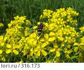 Купить «Жук на желтых цветах», фото № 316173, снято 9 июня 2008 г. (c) Ivan Markeev / Фотобанк Лори