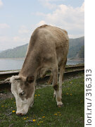Купить «Корова», фото № 316313, снято 31 мая 2008 г. (c) Дарья Киселева / Фотобанк Лори