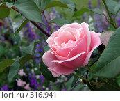 Роза на фоне веток. Стоковое фото, фотограф Фиронов Максим / Фотобанк Лори