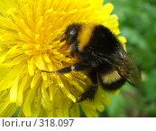 Купить «Шмель на цветке», фото № 318097, снято 8 июня 2008 г. (c) Евгения Лаврова / Фотобанк Лори