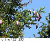 Купить «Еловые шишки», фото № 321253, снято 7 июня 2008 г. (c) Ольга Смоленкова / Фотобанк Лори