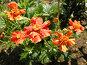 Оранжевые цветы, фото № 321945, снято 13 июня 2008 г. (c) Катерина Макарова / Фотобанк Лори