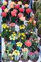 Цветущие кактусы, эксклюзивное фото № 322497, снято 8 июня 2008 г. (c) Александр Щепин / Фотобанк Лори