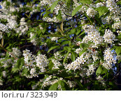 Купить «Ветви цветущей черёмухи», фото № 323949, снято 18 ноября 2019 г. (c) VPutnik / Фотобанк Лори
