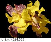 Купить «Желтые ирисы на черном фоне», фото № 324553, снято 13 июня 2008 г. (c) Владислав Семенов / Фотобанк Лори