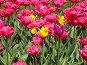 Розовые тюльпаны и несколько жёлтых на зелёном фоне, горизонтально, фото № 325333, снято 30 апреля 2008 г. (c) ИВА Афонская / Фотобанк Лори
