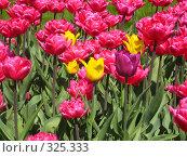 Купить «Розовые тюльпаны и несколько жёлтых на зелёном фоне, горизонтально», фото № 325333, снято 30 апреля 2008 г. (c) ИВА Афонская / Фотобанк Лори