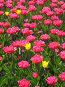 Розовые тюльпаны и несколько жёлтых между ними, вертикально, фото № 325337, снято 30 апреля 2008 г. (c) ИВА Афонская / Фотобанк Лори