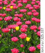 Купить «Розовые тюльпаны и несколько жёлтых между ними, вертикально», фото № 325337, снято 30 апреля 2008 г. (c) ИВА Афонская / Фотобанк Лори